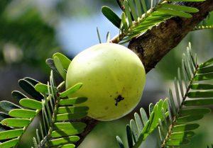 Amla, auch Amalaki oder indische Stachelbeere genannt, gilt im Ayurveda als Superfood und sollte täglich gegessen werde.